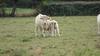 Burgundy,Charollais cattle