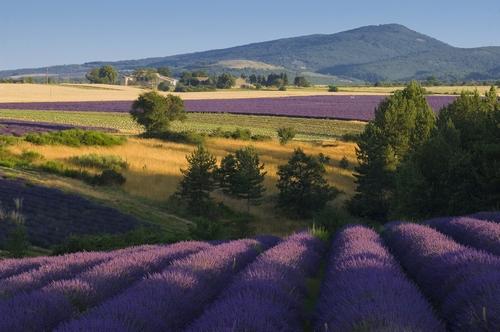 <en>the famous lavender fields</en><fr>champs de lavande</fr><nl>lavendel velden</nl>